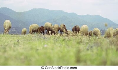 herbe, groupe, sheeps, conjugal, montagne, manger, paysage,...