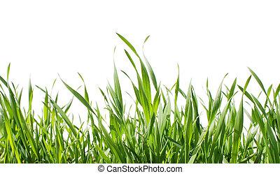 herbe, isolé
