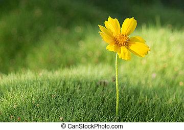 herbe, jaune, pâquerette