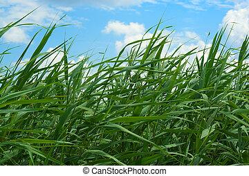 herbe, long