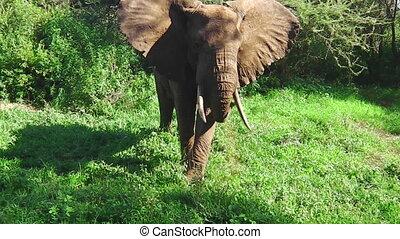 herbe, manger, éléphant