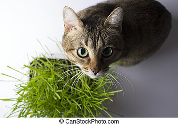 herbe, manger, chat