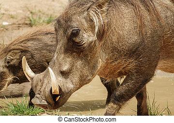 herbe, manger, commun, warthog