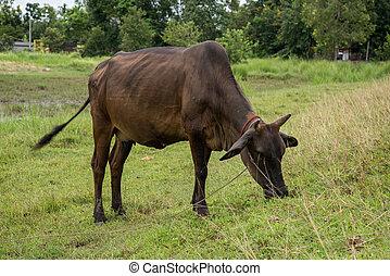herbe, manger, vache