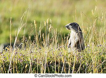 herbe, marmoton
