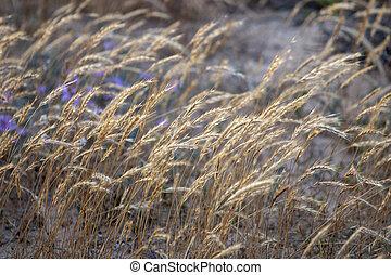 herbe, marram, européen
