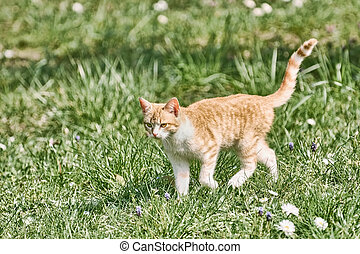 herbe, outbred, chat