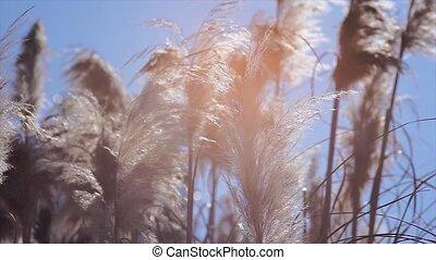 herbe, pampas, détail