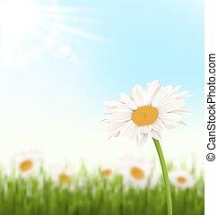 herbe pelouse, ciel, lumière soleil, blanc vert, fleurs, chamomiles
