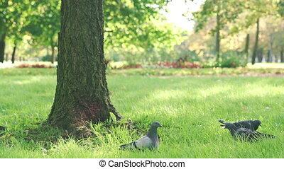 herbe, pigeon, arbre, marche, mélèze