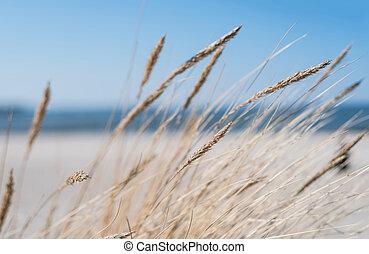 herbe, plage, marram, sablonneux