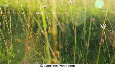 herbe, pré, coucher soleil