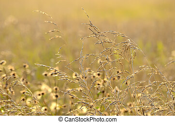 herbe, pré, long
