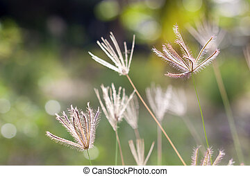 herbe prairie