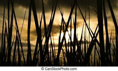 herbe, silhouette, levers de soleil