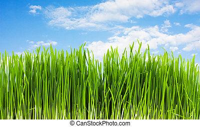 herbe, sur, a, fond, de, ciel bleu, été