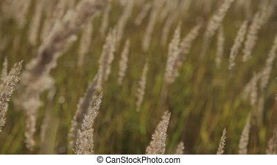 herbe, sways, vent