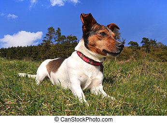 herbe, terrier, russell, mensonge, cric