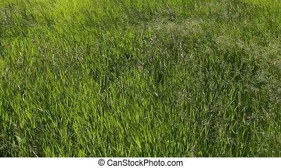 herbe, vert, 01, vent