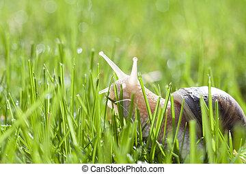 herbe, vert, escargot