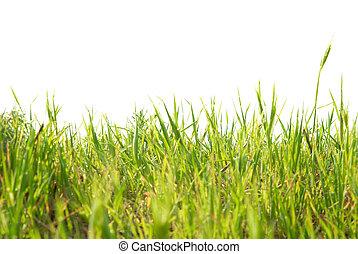 herbe, vert, isolé