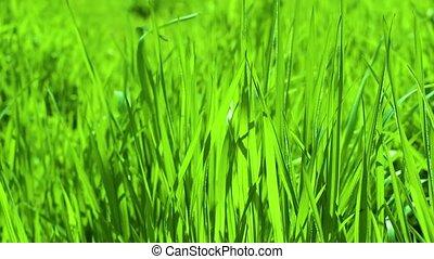 herbe, vert, lames, wind.