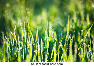 herbe, vert, rosée