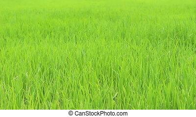 herbe, vert, vent