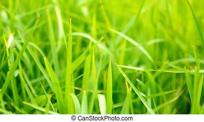 herbe, vert, wind., mouvementde va-et-vient