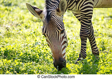 herbe, vert, zebra, nature