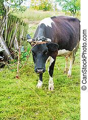 herbe verte, manger, pré, vache
