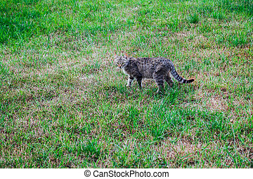 herbe verte, nature, sauvage, chat gris