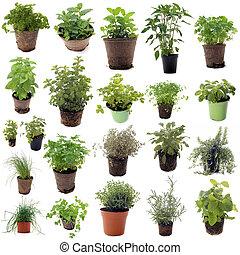 herbes, aromatique