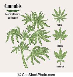 herbes, collection., illustration, main, cannabis, vecteur,...
