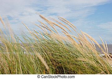 herbes, vent, dune, soufflé