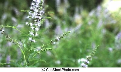 herbier, menthe