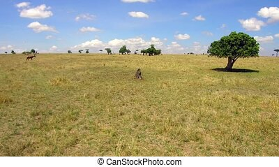 herbivore animals grazing in savanna at africa