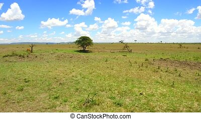 herbivore animals grazing in savanna at africa - animal,...