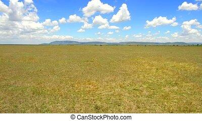 herbivore animals grazing in savanna at africa - animal,...