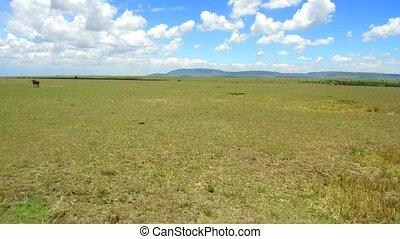 herbivore animals in savanna at africa