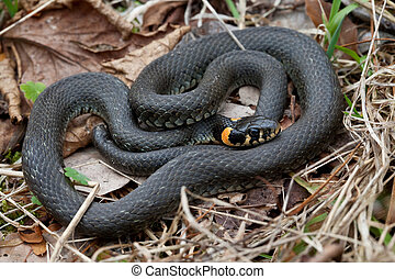 herboso, serpiente, primer plano