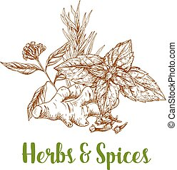 Herbs and spice sketch with rosemary, mint, ginger