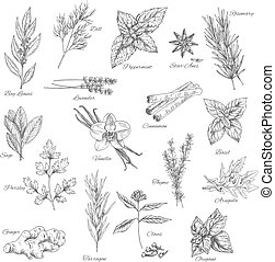 Spices and herbs sketch of vector dill, peppermint or anise and rosemary, bay leaf or lavender and cinnamon, basil or sage, parsley and vanilla or thyme, arugula, oregano or clove and ginger or tarragon seasoning