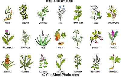 Herbs for digestive health. Hand drawn vector set of...