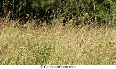 Yellowish dried tall herbs swaing in the wind breeze peacefully, in a wild summer day nature. The original sound of cicada bugs is also included.