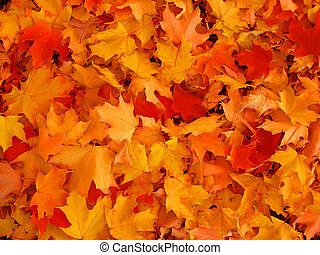 herbst, leaves., ahorn