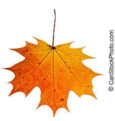 herbst, maple-leaf