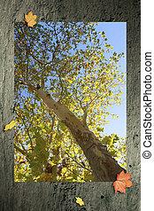 Herbst - Platane im Herbst