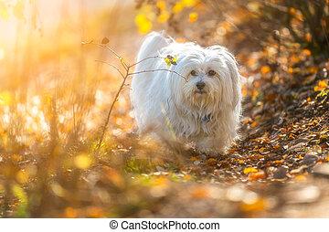 Herbstlich - Kleiner weißer Hund in herbstlicher Umgebung
