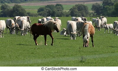 Herd - Beautiful hungarian grey bulls and horses in the...